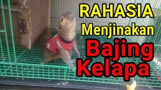 Tips & Trik Pelihara BAJING KELAPA