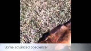 Some Advanced Obedience Fun! Dog Trainer Dc, Va, Md, Nc