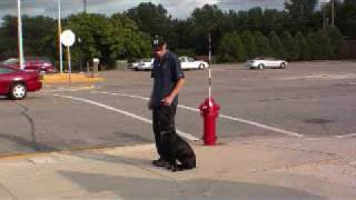 Black Labrador Daisy - Dog Training Graduate