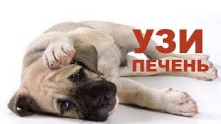 Ультразвуковое исследование печени собаки(Обучающее видео по технике ультразвукового исследования печени собаки. Курс для ветеринарных врачей ведет..., 2014-07-16T11:14:17.000Z)