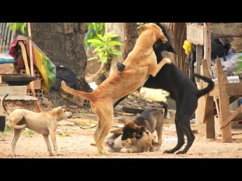 Great time !  Indian Pariah'mum dog and Australien Kelpie dady with their puppies part 013