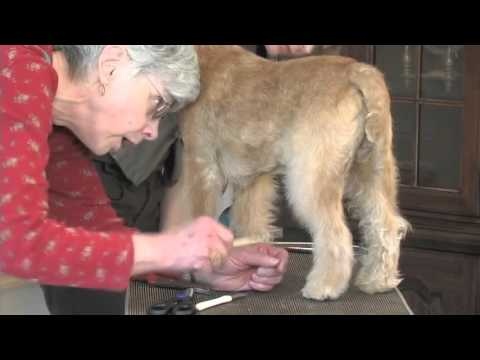Trimming the Lakeland Terrier Part 4