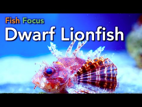 Fish Focus: Dwarf Lionfish