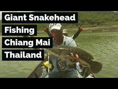 Giant Snakehead Fishing Chiang Mai Thailand - 2017