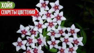 Раньше Моя ХОЙЯ Тоже НЕ ЦВЕЛА. Мои цветы. Мой опыт.