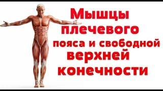 Видео-урок по анатомии. Мышцы плечевого пояса и свободной верхней конечности