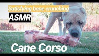 Must Watch! HUGE Raw dog bone Satisfying ASMR sounds! Cane Corso Italian Mastiff raw food