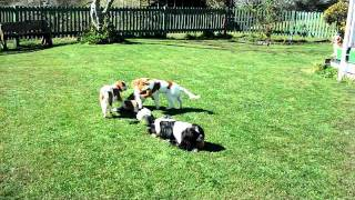 Cavalier King Charles Spaniel Puppies.avi