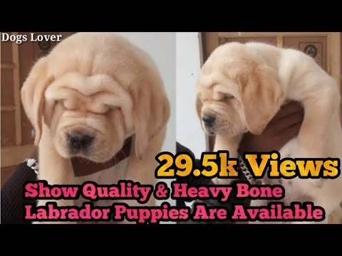 Extra Ordinary & Show Quality Labrador Puppies Are Available