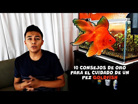 10 Consejos De Oro PARA EL CUIDADO Del PEZ GOLDFISH   AcuariosLP
