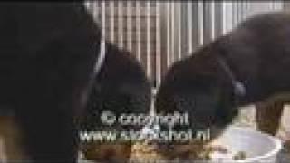 Rottweiler & Pups