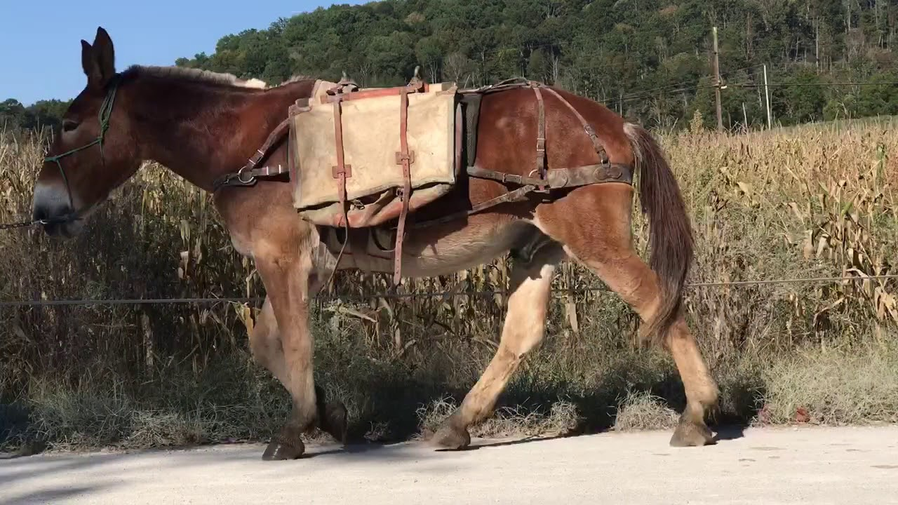 Experienced Pack Mule Jerhro For Sale Check Him Out