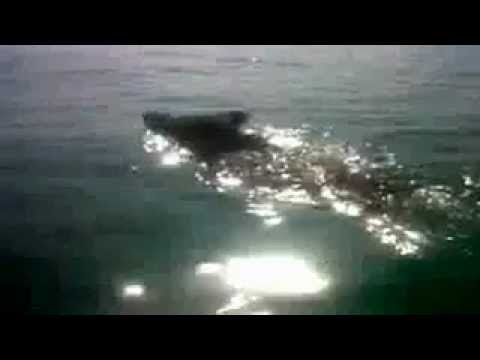 Is it a shark? No, it's a wild boar swimming in the sea - Galicianquality.com