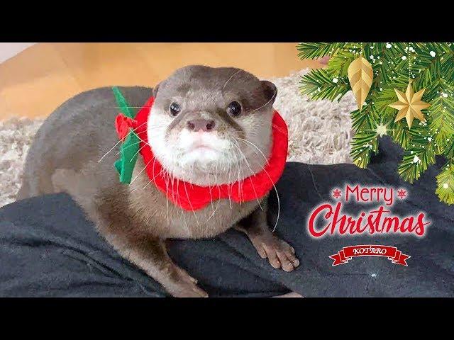 カワウソ コタロー 朝起きたらクリスマスプレゼントがいっぱい! Kotaro the Otter Lots of Christmas Presents