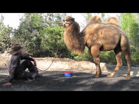 In The Field of Sacred Camels
