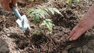 Сажаем рассаду  Уникальная добавка в почву. Почвоулучшитель