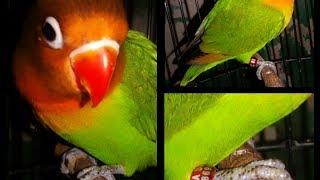 Aksi lovebird paud ngekek jalan 2bulan trah 1menit up!!!!!!!!!!!!!!!