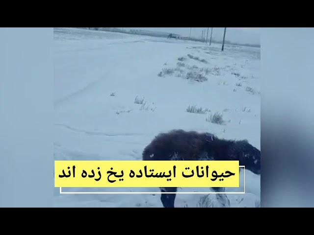 کاهش دمای هوا در قزاقستان تا ۵۱ درجه زیر صفر. حیوانات ایستاده یخ زده اند