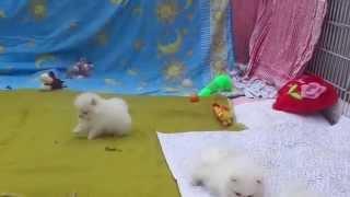 белые померанские шпицы . щенки от Умки д.р.19.02.2015(, 2015-04-15T08:39:58.000Z)