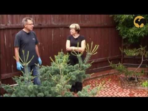 видео: Сосны в саду-2 Ландшафтные хитрости 69