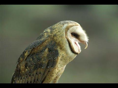 Barn Owl Sounds like a Snake - YouTube