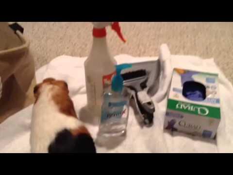 Guinea pig care for beginners