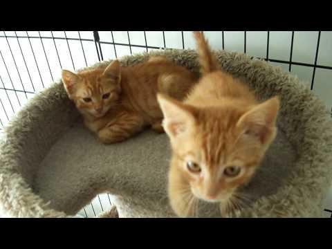 Two Feral Orange Tabby Kittens