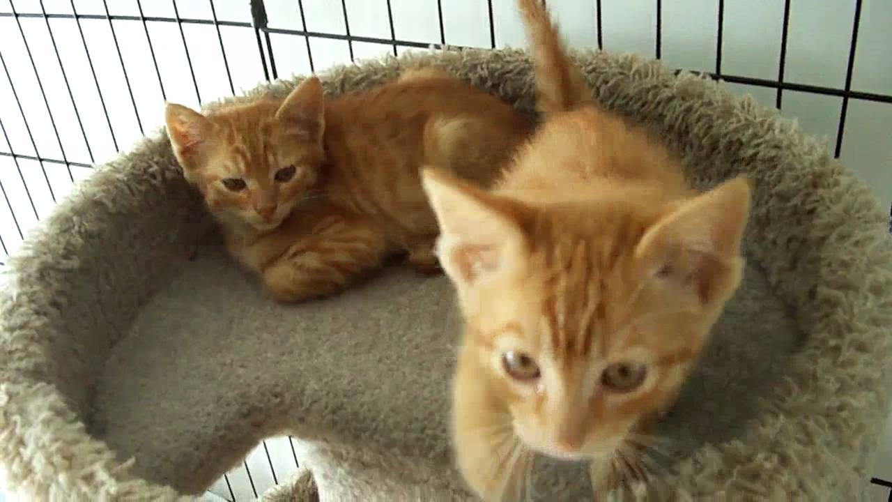 25  Adorable orange Tabby Kittens for Sale
