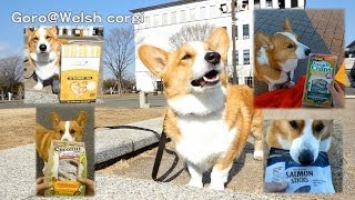 Goro Speaks. / お話するコーギー 20140121 Goro@welsh Corgi