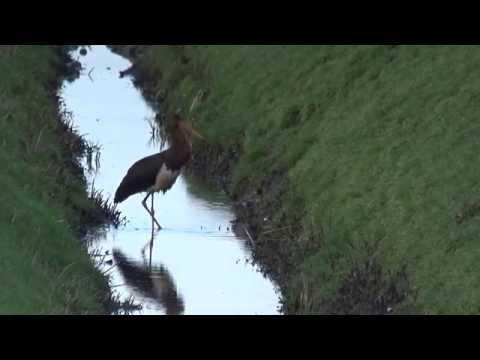 Vroege Vogels - Zwarte ooiveaar