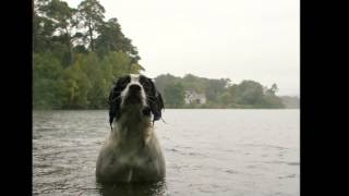 Beautiful photo English Springer Spaniel