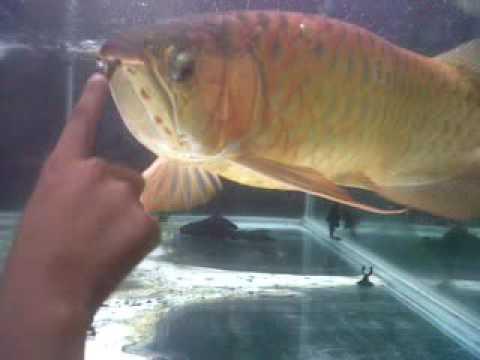 Ikan Arwana Super Red Terbesar Youtube