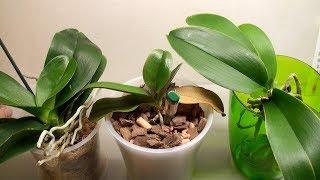 МАЛЕНЬКАЯ ОРХИДЕЯ ожила, тест влажности, корни орхидеи без грунта, укол в орхидею