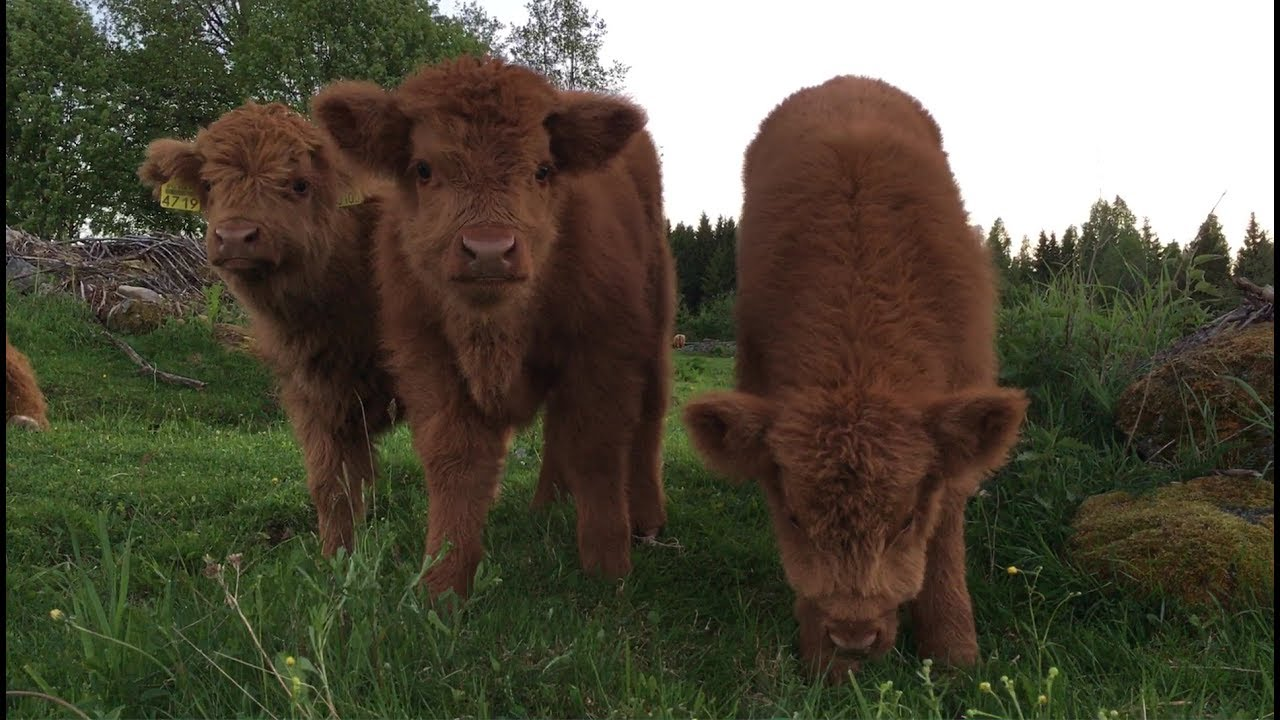 scottish highland cattle in finland fluffy calves june 2017 youtube