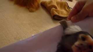 紙で遊ぶコジロウ コモンマーモセット marmoset