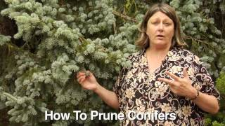 How to Prune Conifers - Instructional Video w/ Plant Amnesty