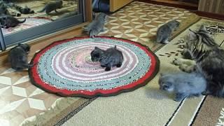 Сибирская кошка. Котятам 1 месяц. Котята не хотят, чтобы я уходила.