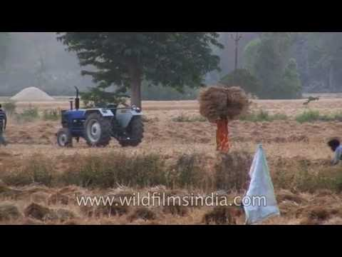 Wheat harvest time in the plains of Uttarakhand