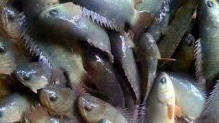 রুই মাছ চাষ এর নুতুন সম্ভাবনা পুকুরে নিবিড় পদ্ধতিতে ভাঙ্গন মাছ চাষে সফলতা পেয়েছেন প্রবাসী মিলন খান