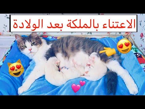 قطتي الملكة و عيالها بعد الولادة  💕 ( الاعتناء بالقطط بعد الولادة ) 😍/ Mohamed Vlog