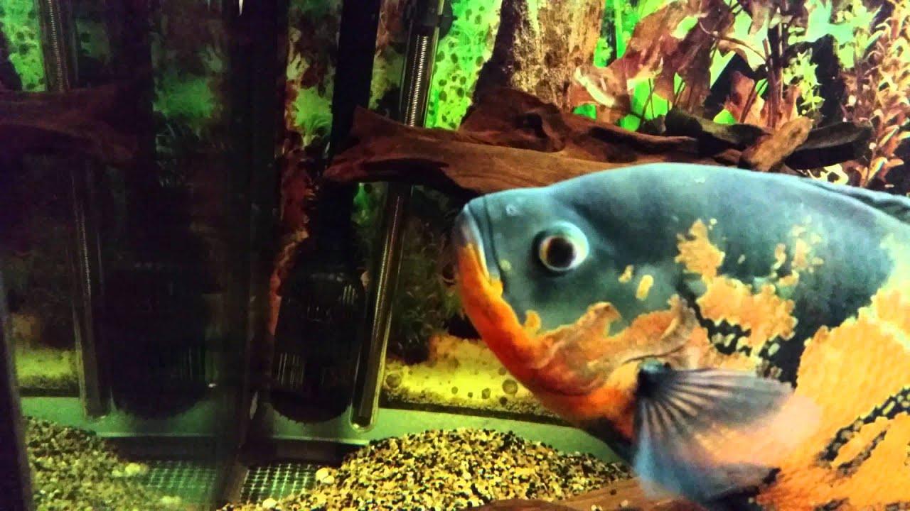 Freshwater aquarium fish that eat snails - Oscar Eats Snail