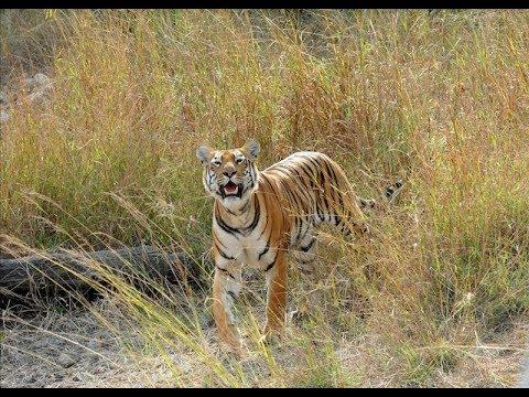 Tigers of Chandrapur