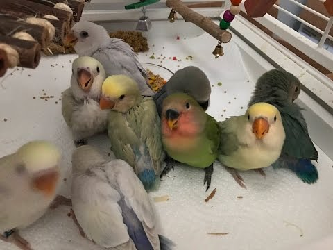 Lovebird Babies. Cage Graduation Day!
