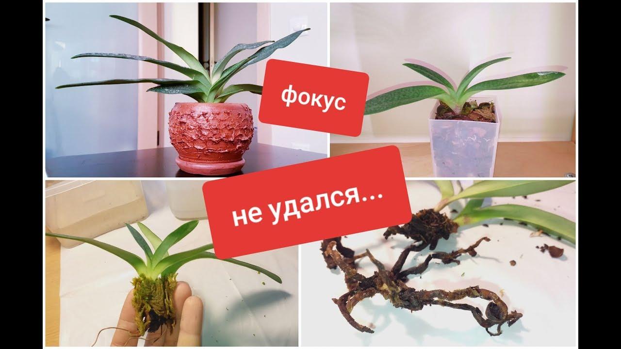 реанимация орхидеи по методу Др. Хуссейна: мое полное ФИАСКО