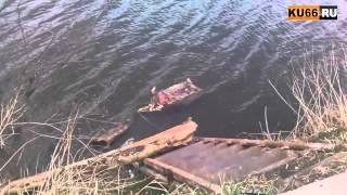 Труп кабана в Исети