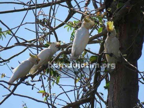 Monitoring Kakatua di Pulau Masakambing - Masalembu
