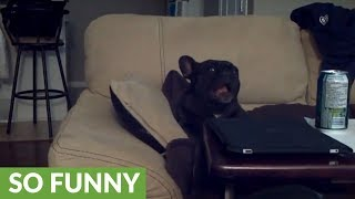 Sad French Bulldog Makes Such Ridiculous Sounds!