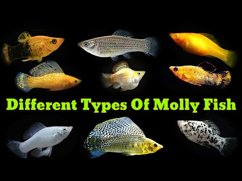 Most Popular Types Of Molly Fish