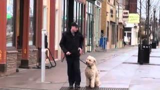 Lou (goldendoodle) Boot Camp Dog Training Demonstration