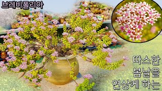 봄날이 생각나는 꽃이 만발한 브레비폴리아(Crassul…